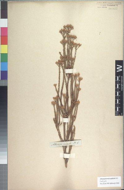 Athanasia microphylla DC.
