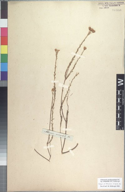 Athanasia pachycephala subsp. eriopoda (DC.) Källersjö