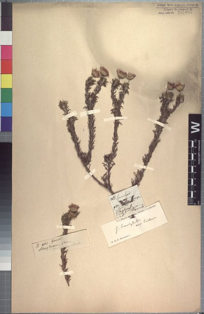 Euryops brachypodus (DC.) B. Nord.