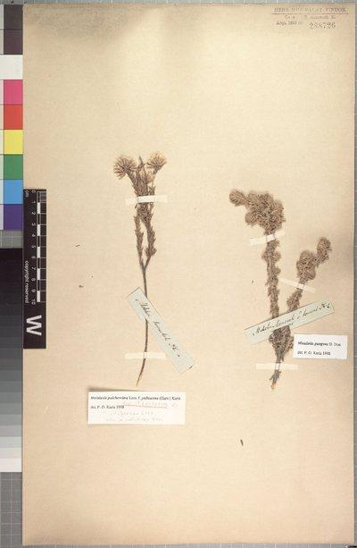 Metalasia pulcherrima f. pallescens (Harv.) P. O. Karis