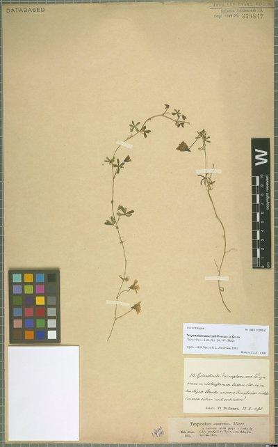 Tropaeolum azureum Bertero ex Colla