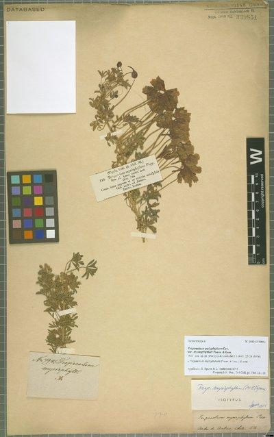 Tropaeolum myriophyllum (Poepp. & Endl.) Sparre
