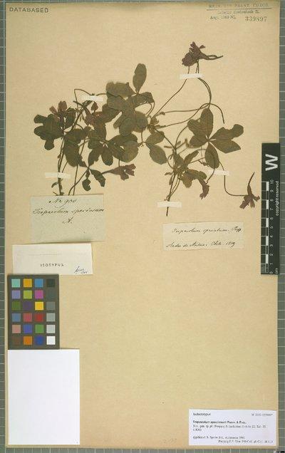 Tropaeolum speciosum Poepp. & Endl.
