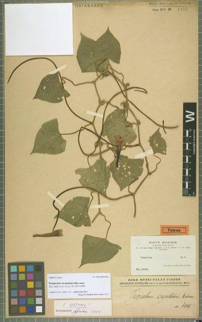 Tropaeolum cuspidatum Buchenau