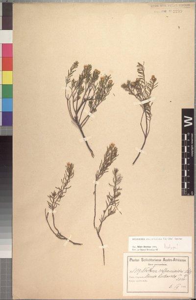 Relhania relhanioides (Schltr.) K. Bremer