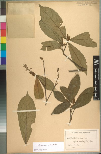 Rinorea dentata (P. Beauv.) Kuntze