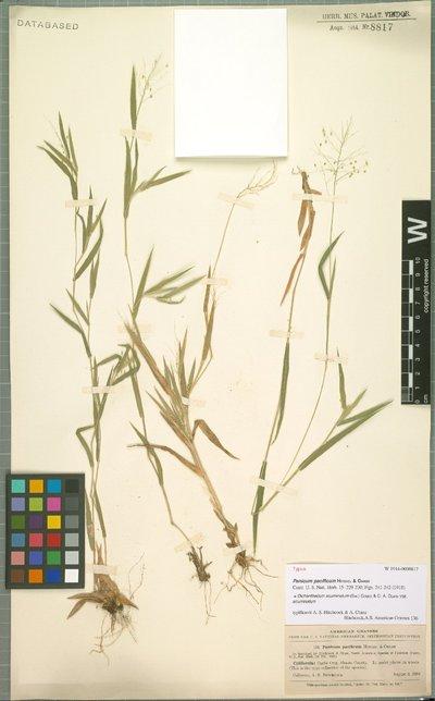 Dichanthelium acuminatum var. acuminatum (Sw.) Gould & C. A. Clark