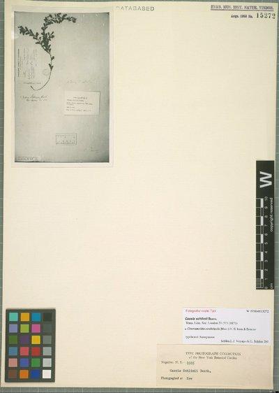 Chamaecrista cordistipula (Mart.) H. S. Irwin & Barneby