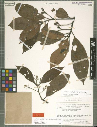 Persea areolatocostae (C. K. Allen) van der Werff