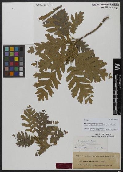 Quercus kotschyana O. Schwarz