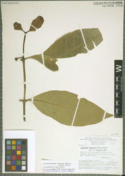 Tabernaemontana coriacea Link ex Roem. & Schult.