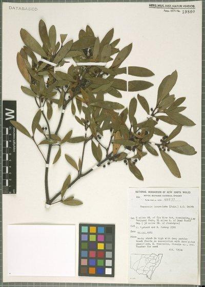 Tasmannia lanceolata (Poir.) A. C. Sm.