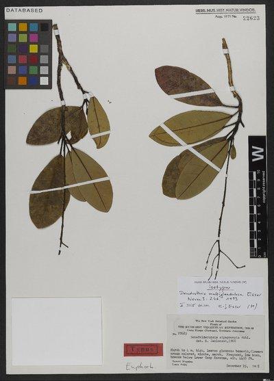 Dendrothrix multiglandulosa Esser