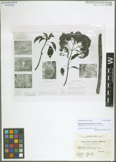 Neomirandea biflora R. M. King & H. Rob.