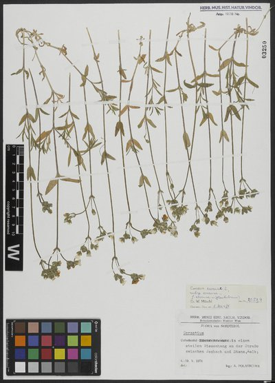 Cerastium arvense subsp. arvense L.