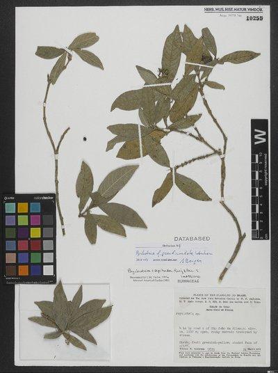 Psychotria pseudinundata Wernham