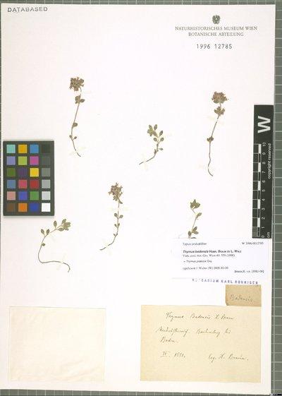 Thymus praecox Opiz