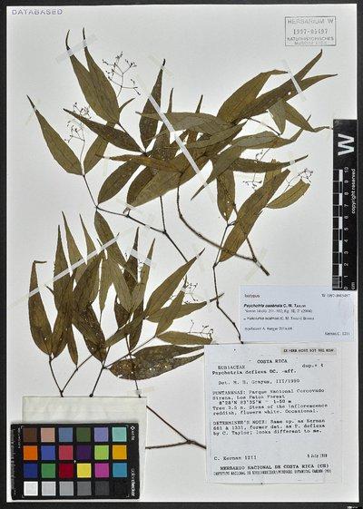 Palicourea osaënsis (C. M. Taylor) Borhidi