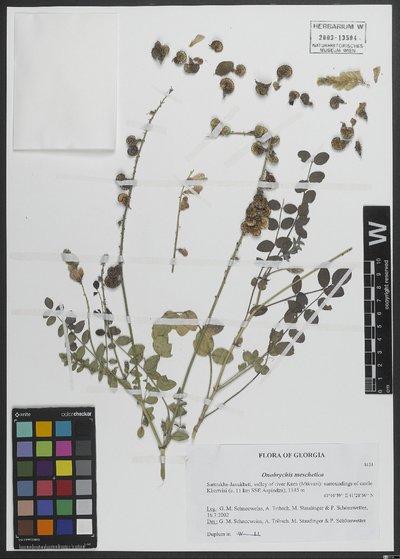 Onobrychis meschetica Grossh.