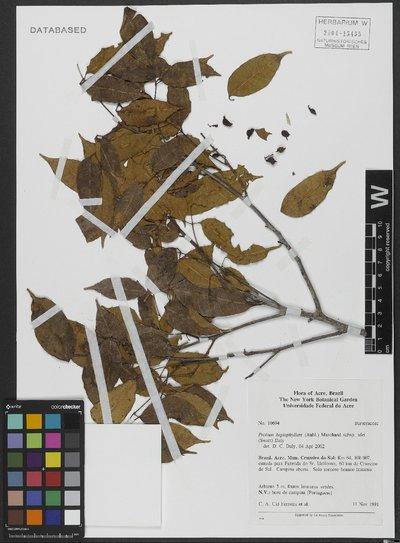 Protium heptaphyllum subsp. ulei (Swart) Daly