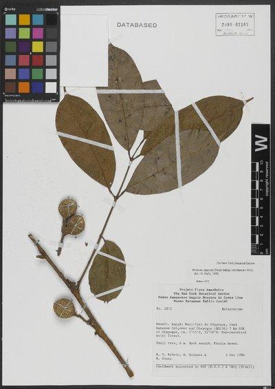 Protium opacum subsp. rabelianum Daly
