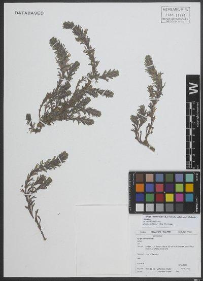 Ajuga chamaepitys subsp. chia (Schreb.) Arcang.