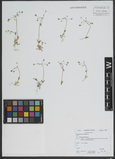 Holosteum umbellatum var. parceglandulosum Schur