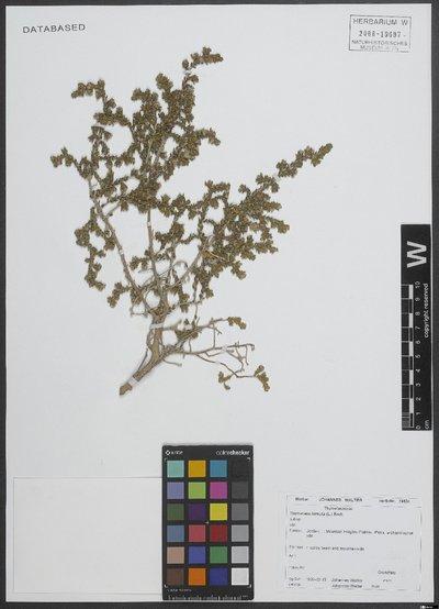 Thymelaea hirsuta (L.) Endl.