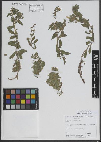 Onosma orientalis (L.) L.