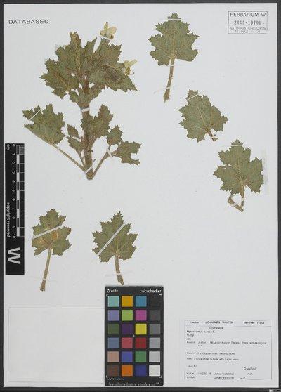 Hyoscyamus aureus L.