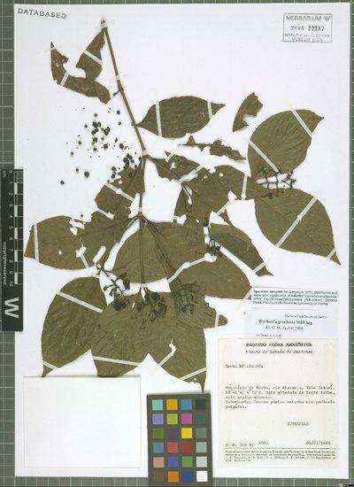 Psychotria gracilenta Müll. Arg.