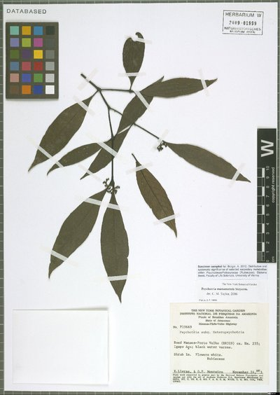 Psychotria manausensis Steyerm.