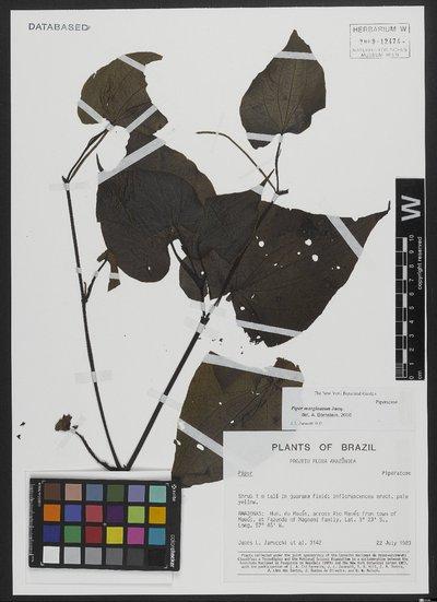 Piper marginatum Jacq.
