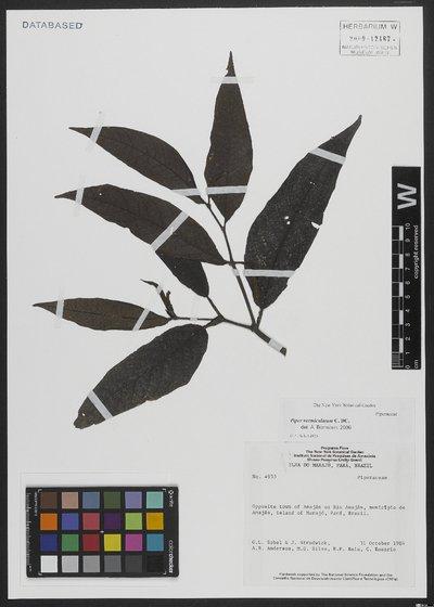 Piper vermiculatum C. DC.
