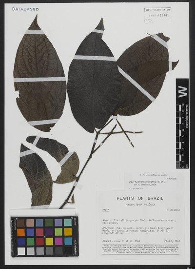 Piper hostmannianum (Miq.) C. DC.