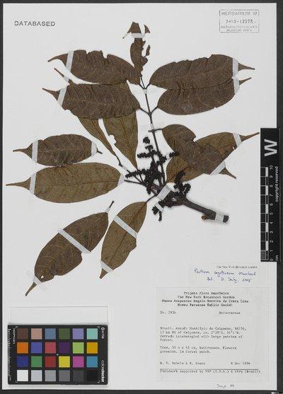 Protium Burm. f.
