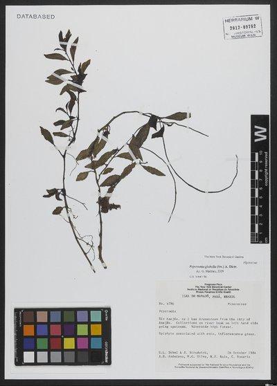 Peperomia glabella (Sw.) A. Dietr.