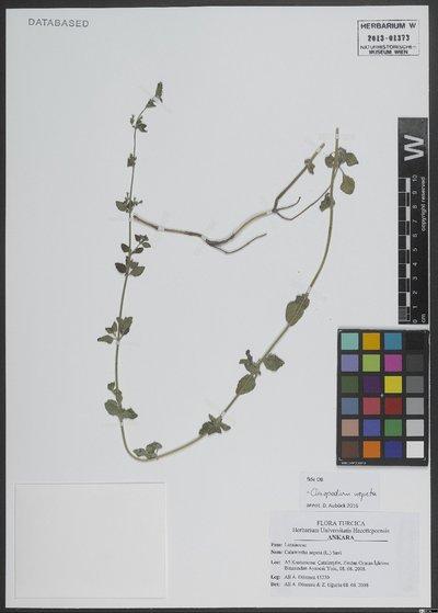 Clinopodium nepeta (L.) Kuntze