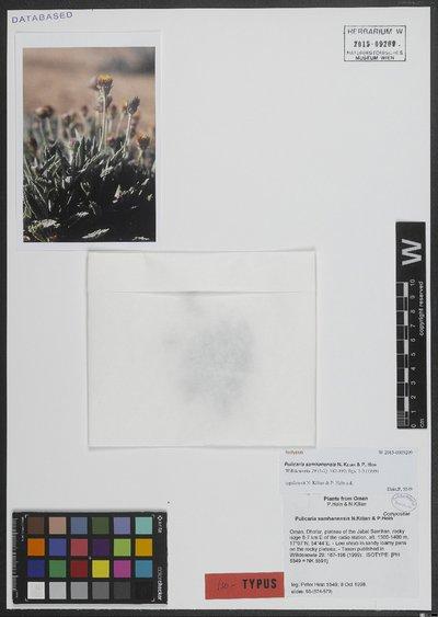 Pulicaria samhanensis N. Kilian & P. Hein