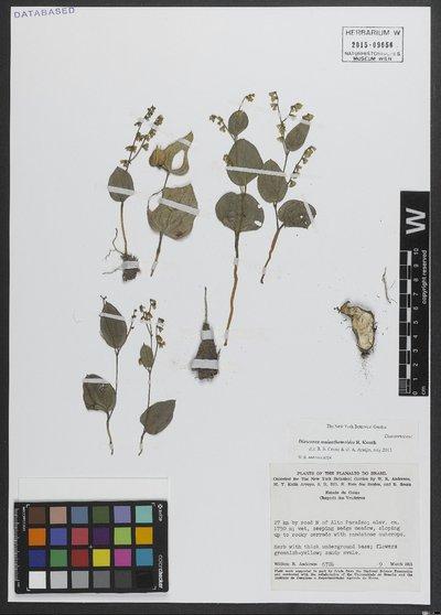 Dioscorea maianthemoides Uline ex R. Knuth