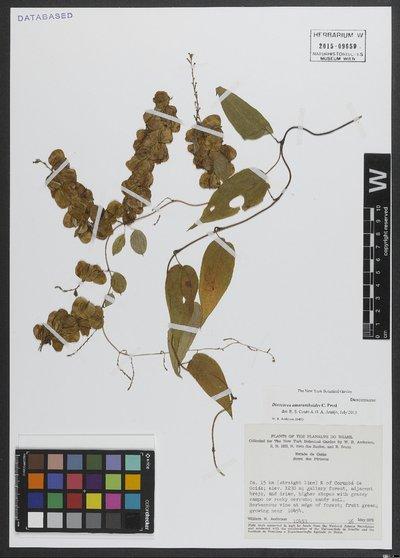 Dioscorea amaranthoides C. Presl