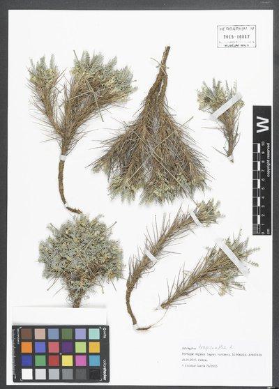 Astragalus tragacantha L.