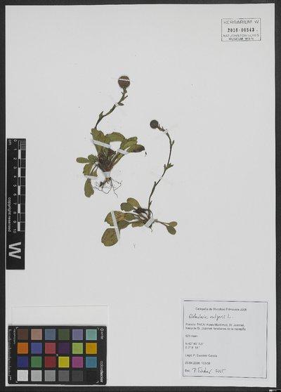 Globularia vulgaris L.