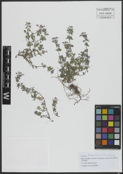 Clinopodium acinos (L.) Kuntze
