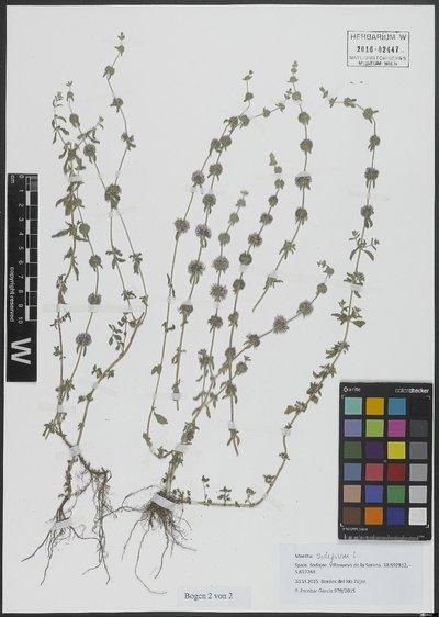 Mentha pulegium L.