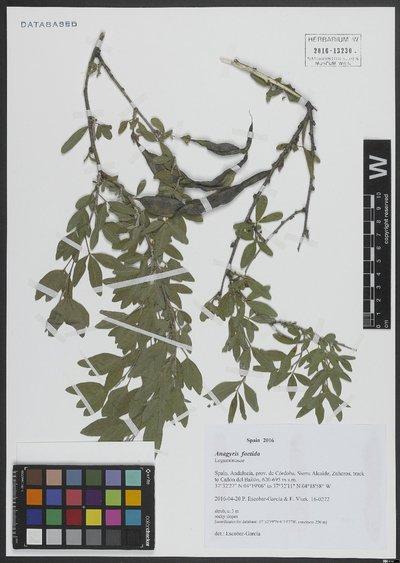 Anagyris foetida L.