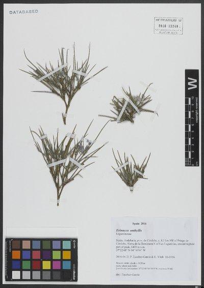 Erinacea anthyllis Link