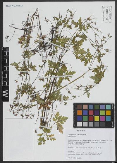 Geranium robertianum L.