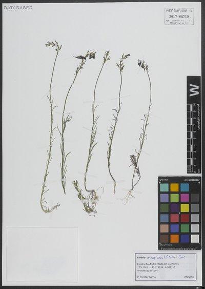 Linaria aeruginea (Gouan) Cav.