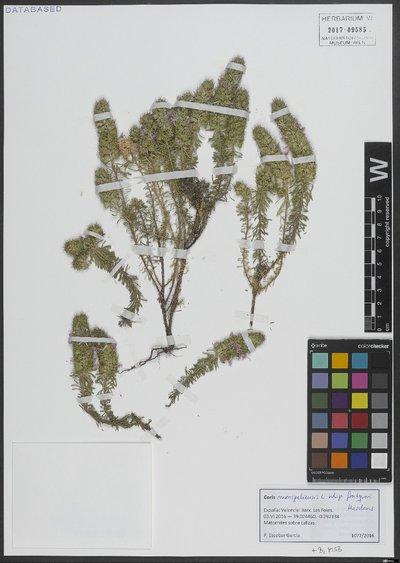 Coris monspeliensis L.